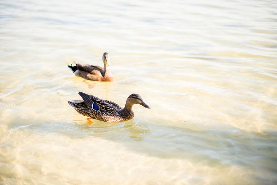 orlando-duck-photographer-19